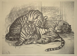 Unknown (tiger)