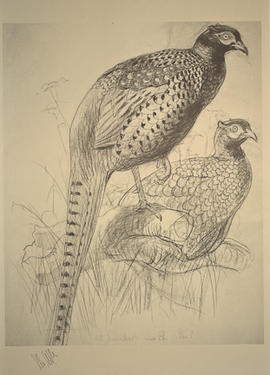 Ringless Chinese Pheasant