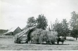 Using a hay loader in the 1950s
